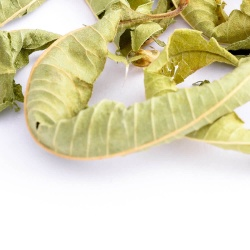 Lemon-Verbena-01-Crop